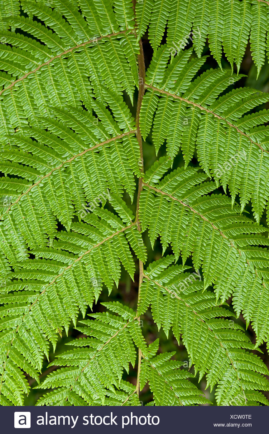 Symmetry of a frond, Tandayapa region, Andean cloud forest, Ecuador, South America - Stock Image
