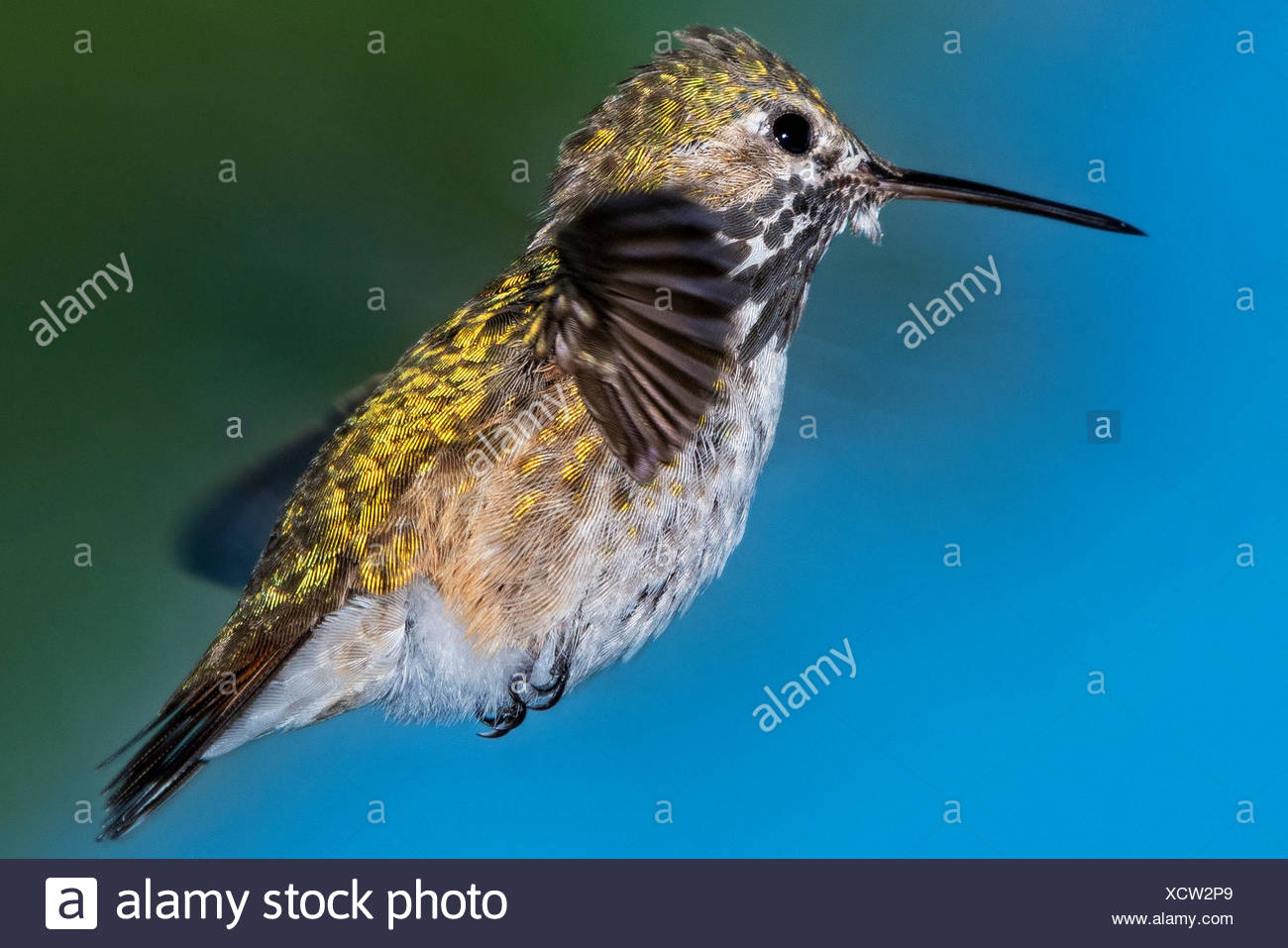Portrait of a Calliope Hummingbird hovering in mid air - Stock Image