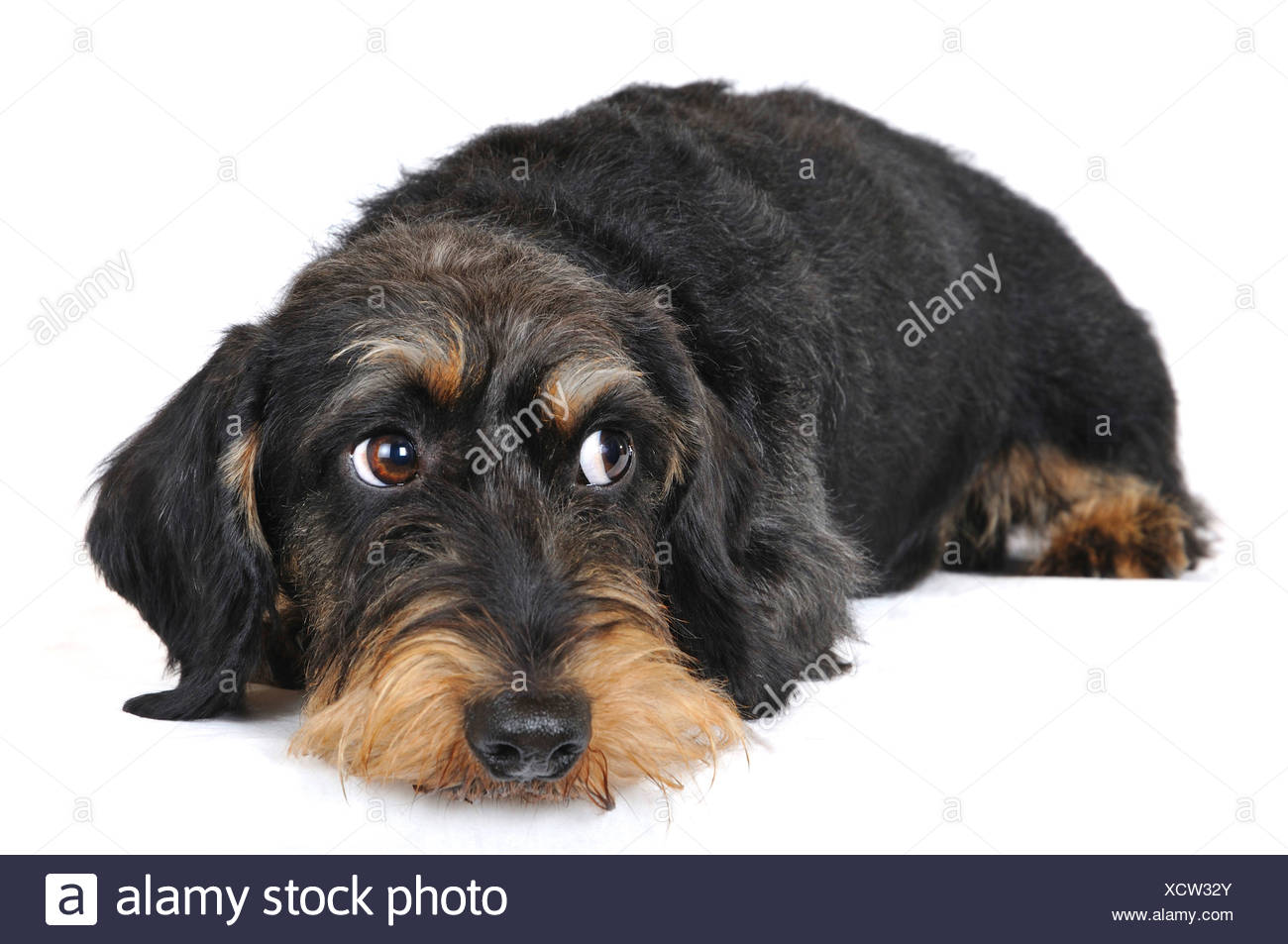 Wire-haired Dachshund, Wire-haired sausage dog, domestic dog (Canis lupus f. familiaris), side glance, Germany, Nordrhein Westfalen - Stock Image