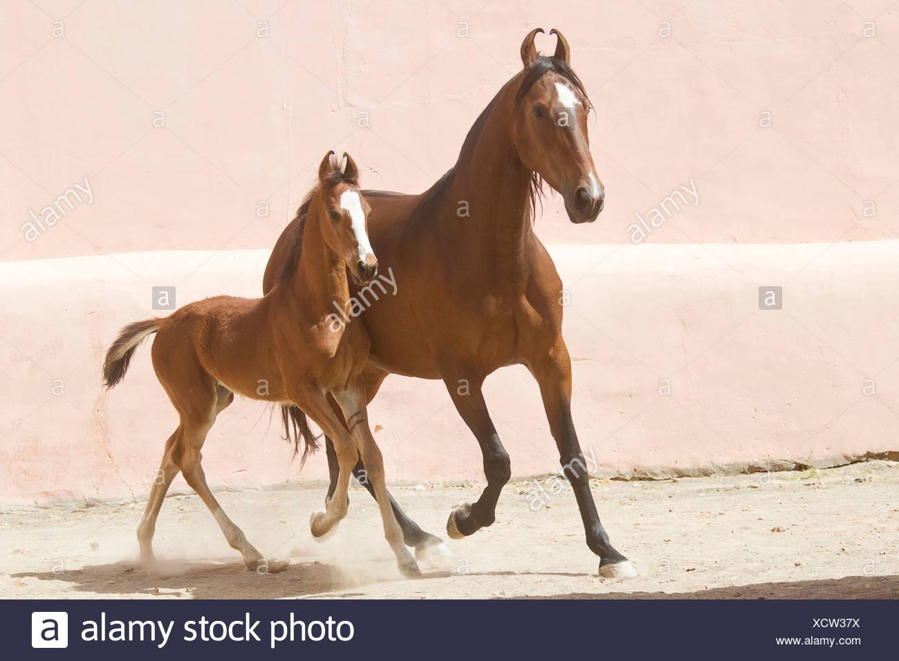 Horse Marwari foal pictures photo