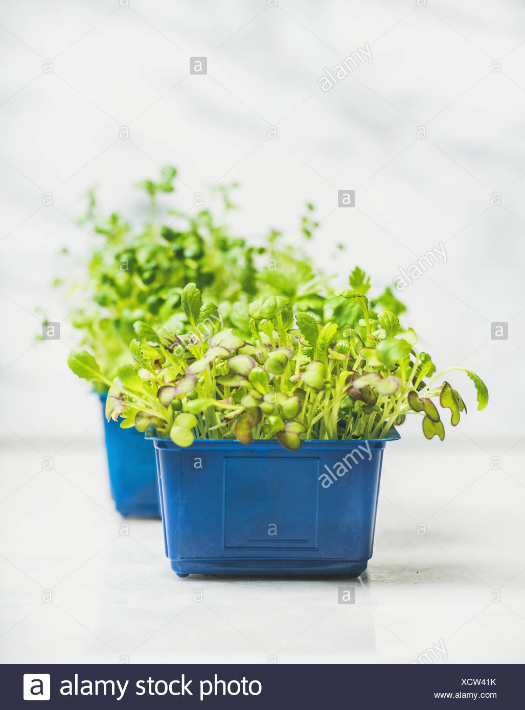 Fresh spring green live radish cress sprouts in blue plastic pots over white marble background for healthy eating, selective focus, copy space. Clean - Stock Image
