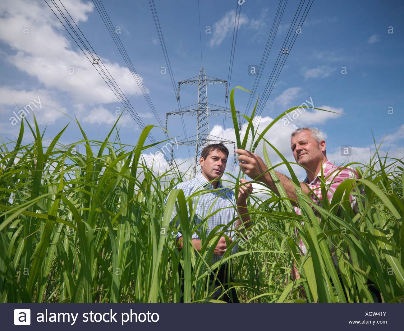 Farmers examining biomass fuel crop - Stock Image