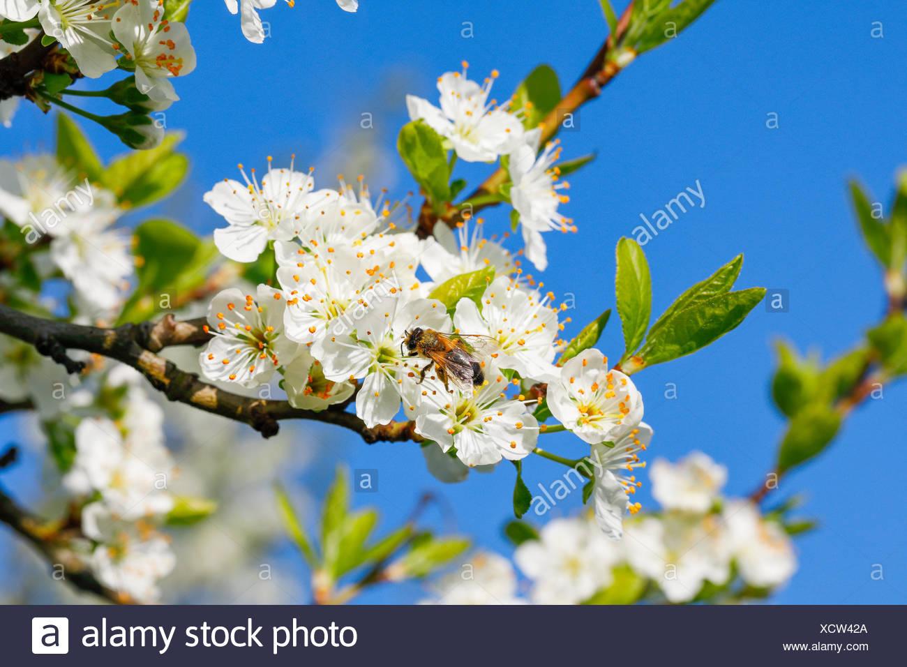 Kirschbäume im Frühling, Prunus avium, Schweiz Stock Photo