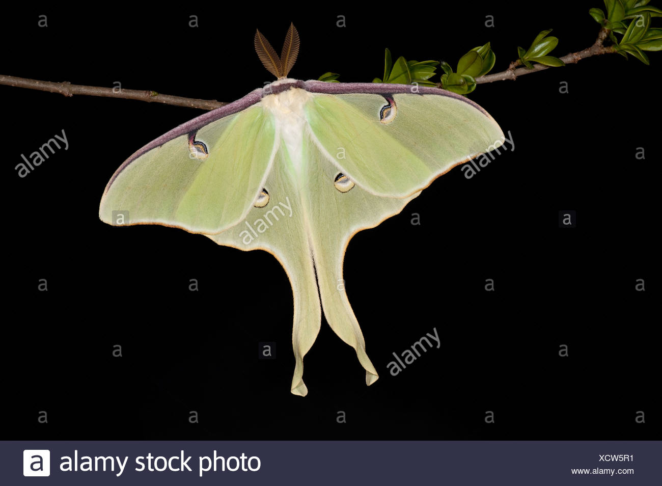 American Moon Moth  Actias luna USA on shrub branch - Stock Image