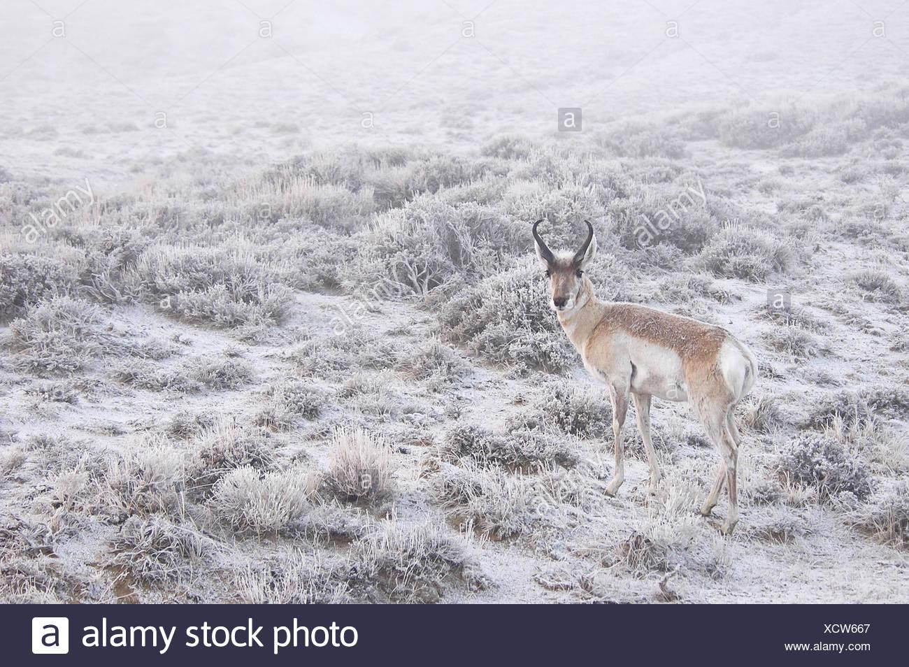 Deer standing in snow - Stock Image