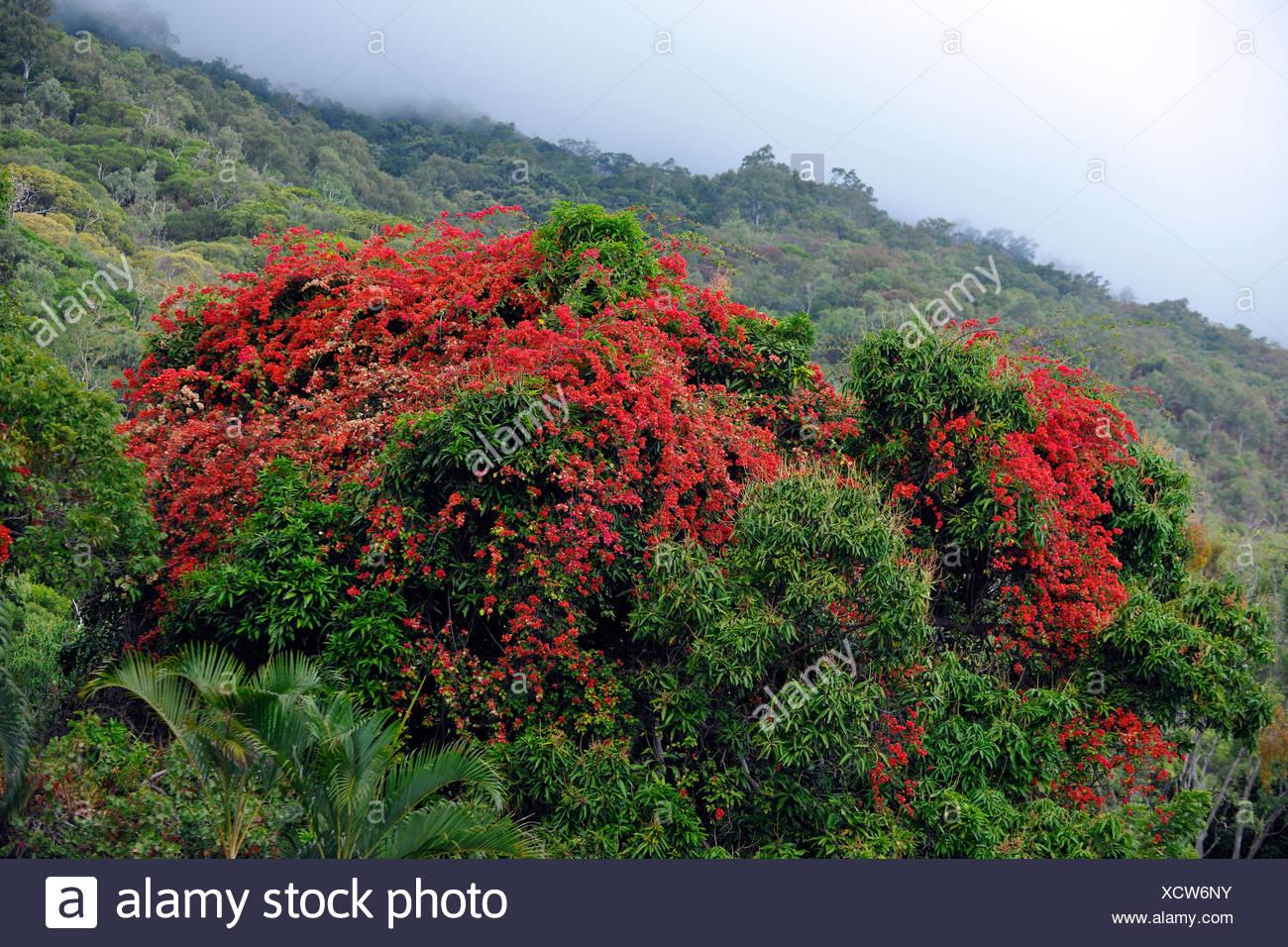Flamboyant (Delonix regia, Poinciana regia), tropical rainforest, Daintree National Park, Queensland, Australia - Stock Image