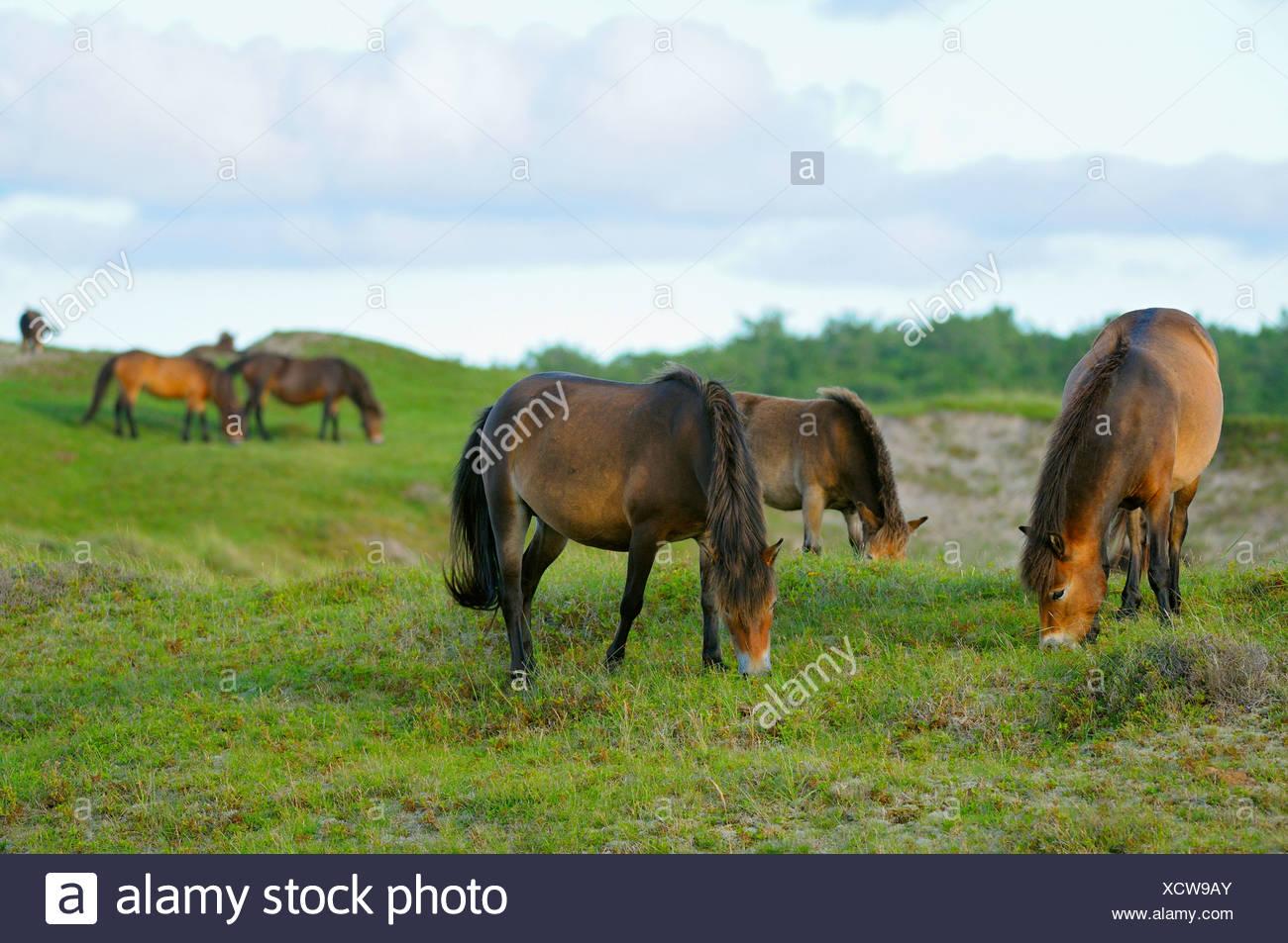 Exmoor pony (Equus przewalskii f. caballus), herd of horses grazing in the conservation area Bollekamer, Netherlands, Texel, Duenen von Texel Nationalpark - Stock Image