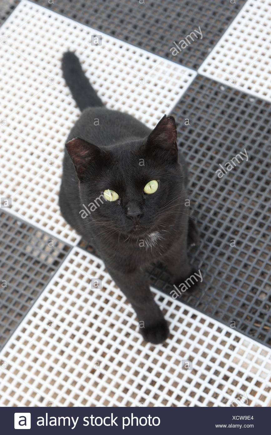 House cat, black, sit, to high-level views, - Stock Image