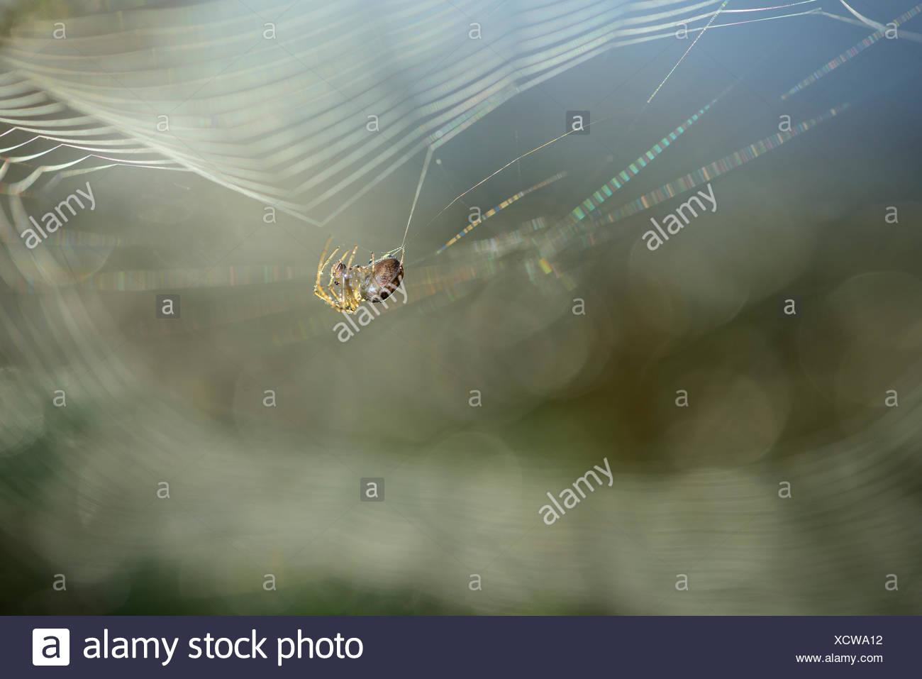 European garden spider, Araneus diadematus, weaving spider's web - Stock Image