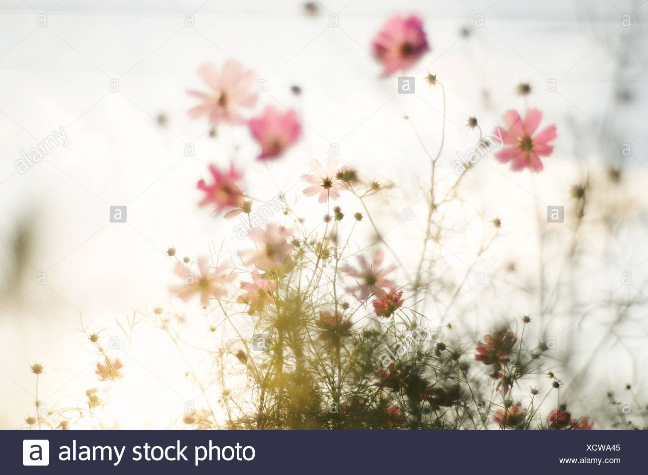 Pink Flowers - Stock Image