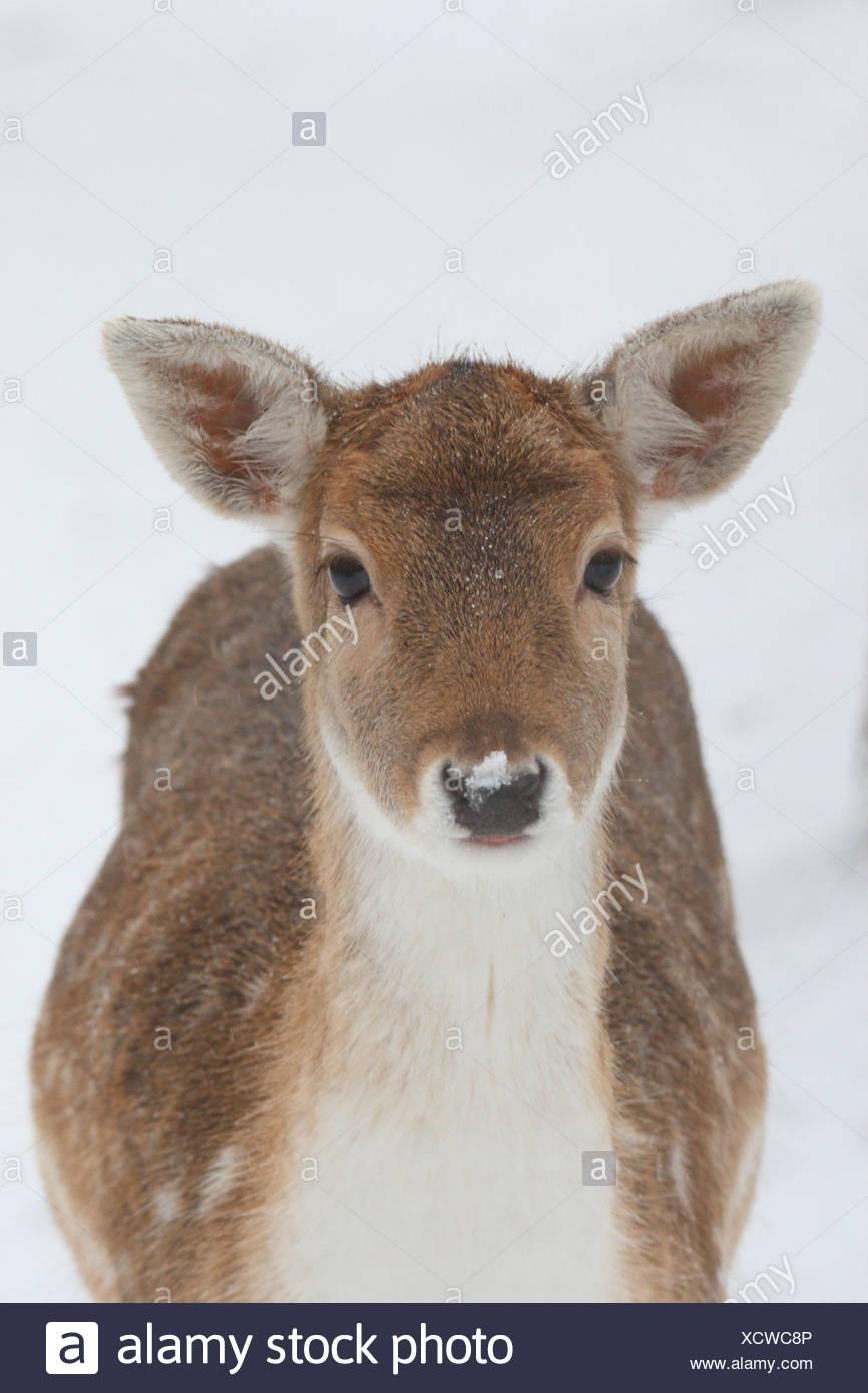 Fallow-deer, portrait, vertical format, fallow buck, female, Damwild, hind, mammal, game, animal, wild animal, snow, Wildlife, - Stock Image