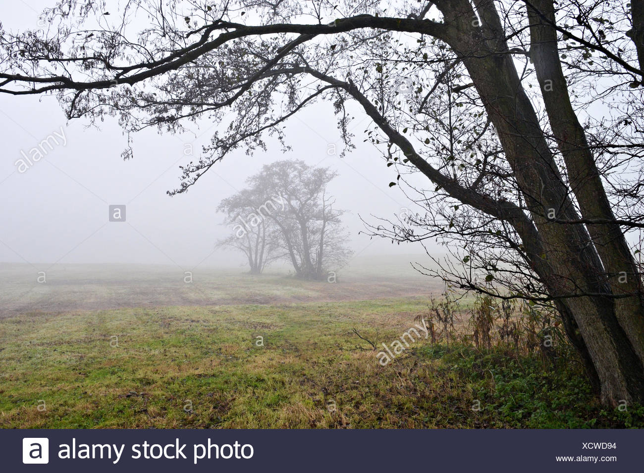 Awl trees in the fog. - Stock Image