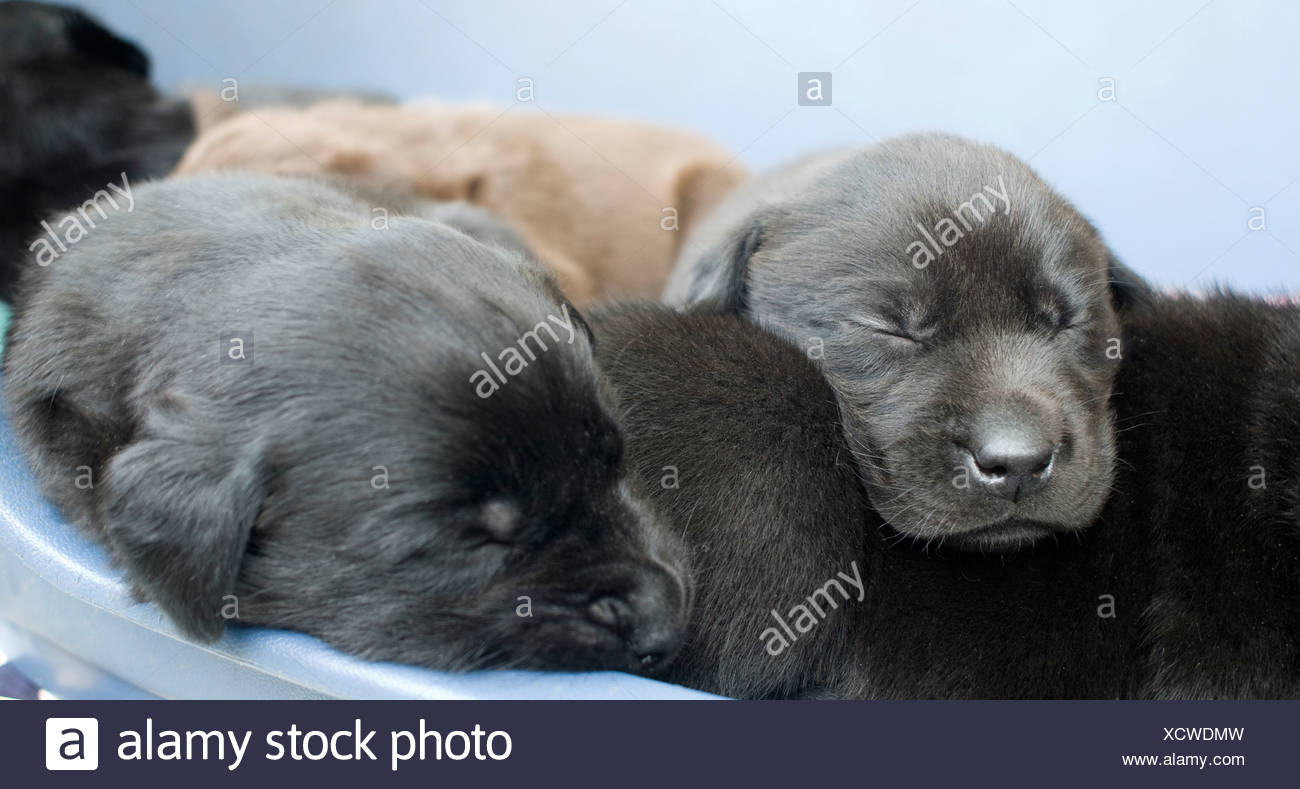 Labrador puppies sleeping in a pile - Stock Image