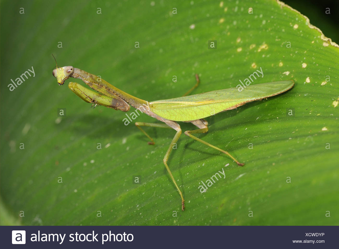 Praying Mantis Amazon High Resolution Stock Photography And Images