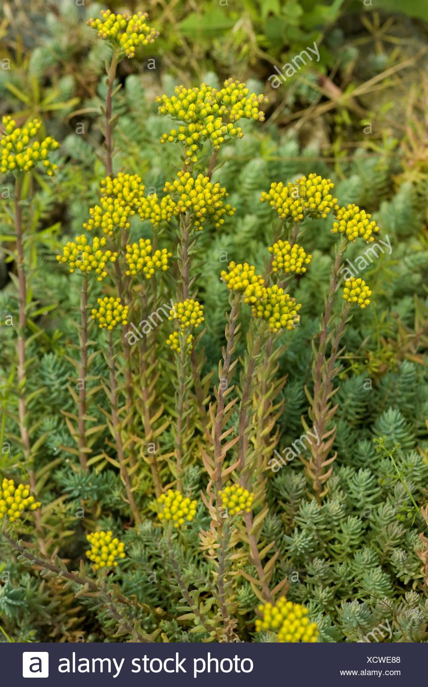 Reflexed Yellow Stonecrop Rupestre 500 Seeds Sedum Reflexum