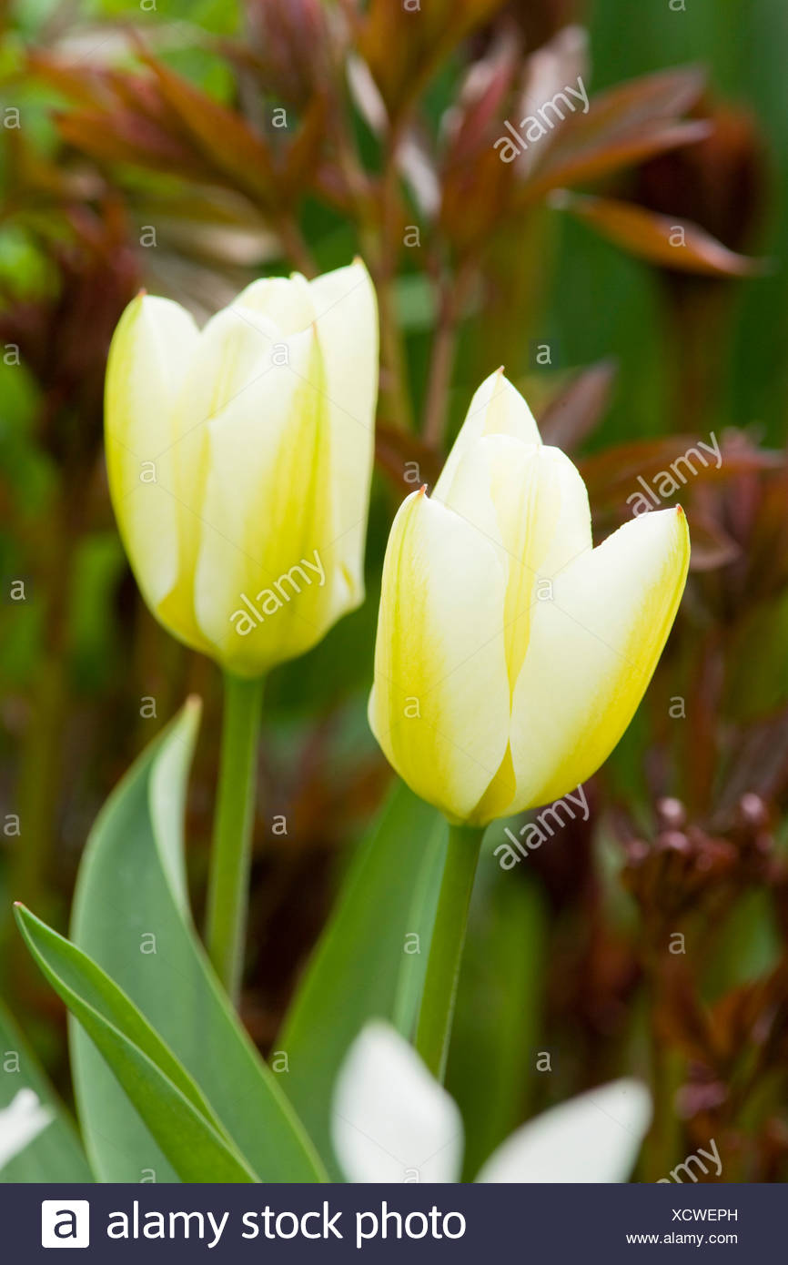 Tulipa 'White Emporer' - Stock Image