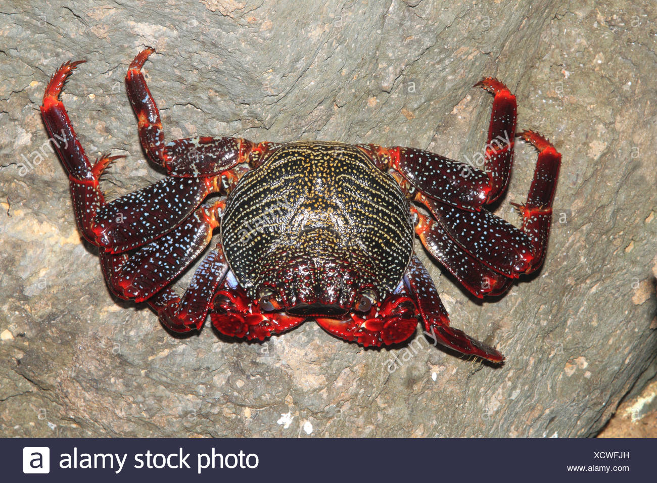Sally lightfoot crab, mottled shore crab (Grapsus grapsus), clasping to a rock - Stock Image