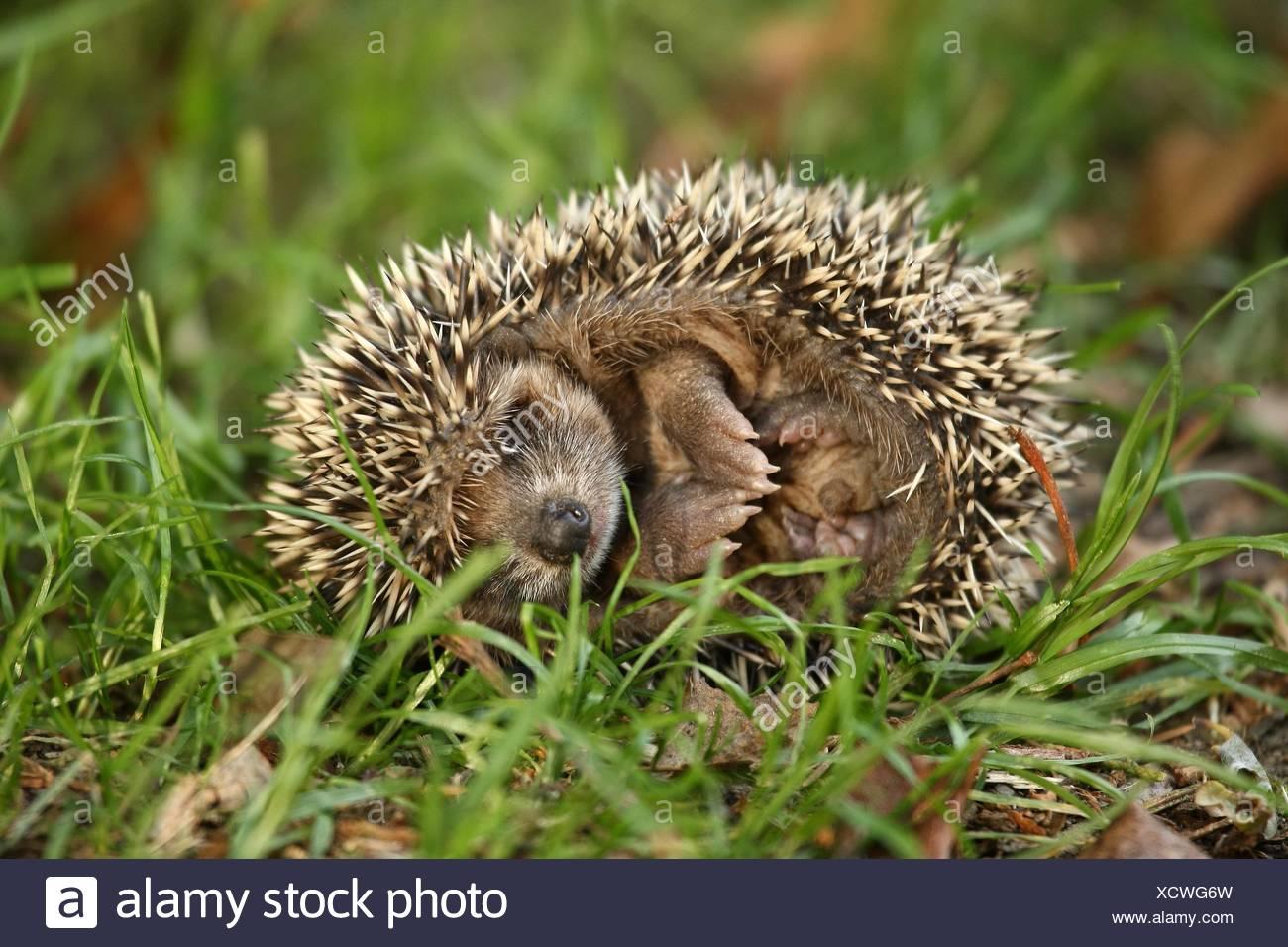 young hedgehog - Stock Image