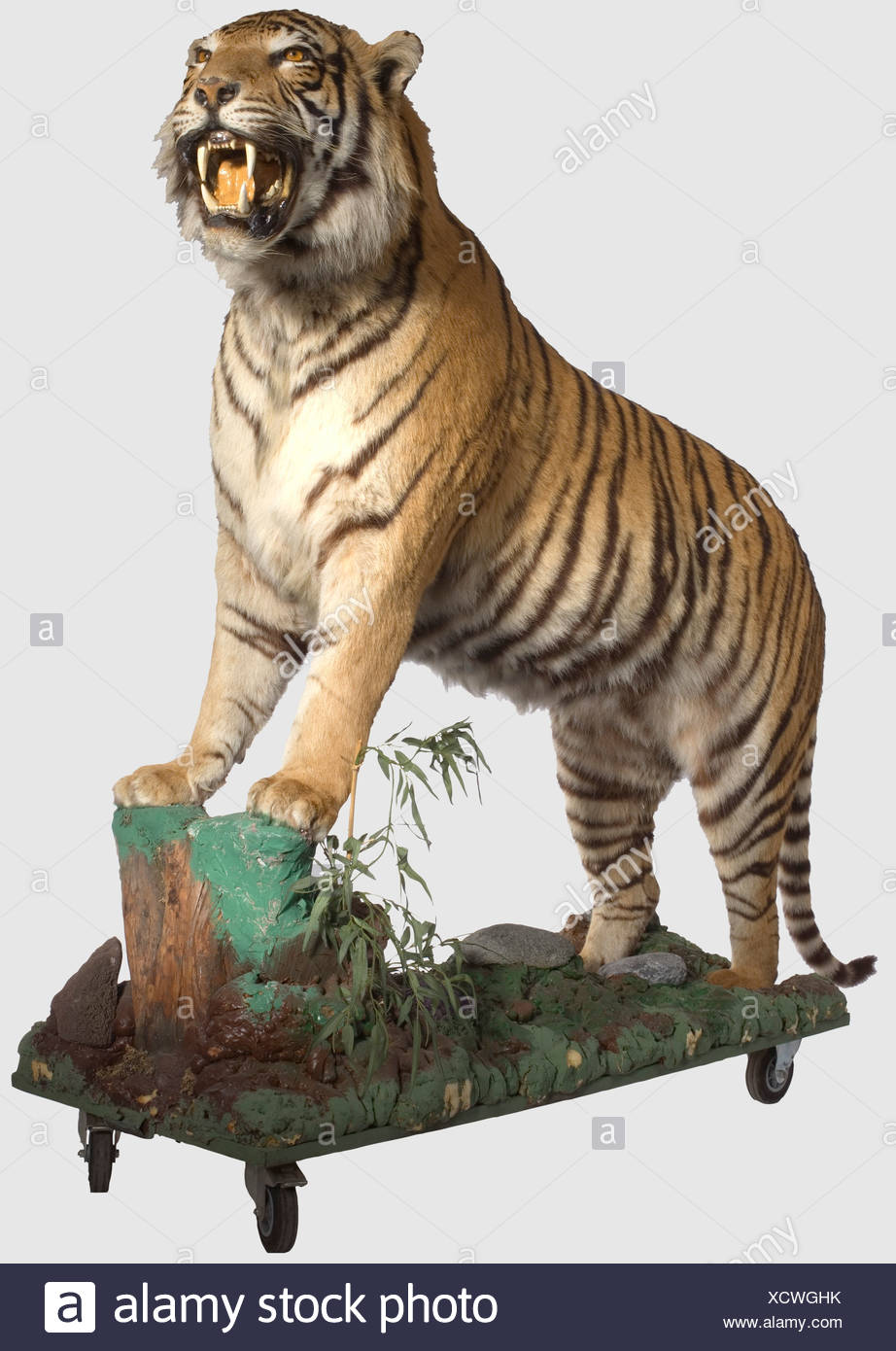 A Tiger, 20th Century Outstanding, extremely lifelike taxidermy specimen of a male tiger (Panthera tigris), for which the animal's entire own (!) teeth were used. On a base decorated with semi-precious stones and provided with casters. Length (including tail) ca. 280 cm. Height at the shoulder ca. 100 cm. Total height ca. 120 cm. Tigers were originally indigenous to Central Asia, the Indian Subcontinent, Siberia, and throughout East Asia. And at the beginning of the 20th century there were probably still over 100,000 tigers living in the wild. Today, the total , Additional-Rights-Clearences-NA - Stock Image