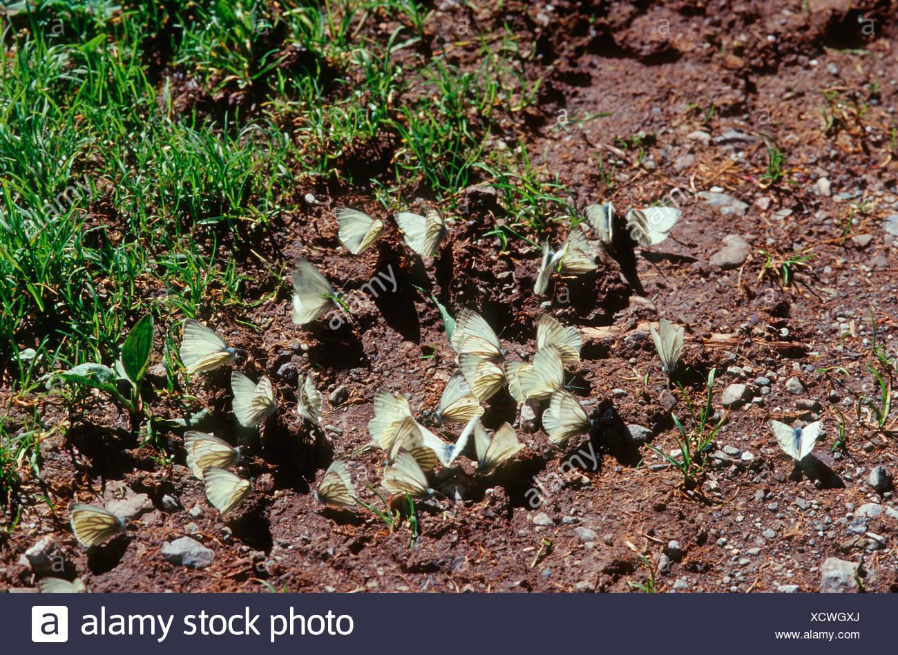 Dark-veined White (Pieris bryoniae, Artogeia bryoniae), over twenty individuals sitting on the ground and sucking minerals, Germany - Stock Image