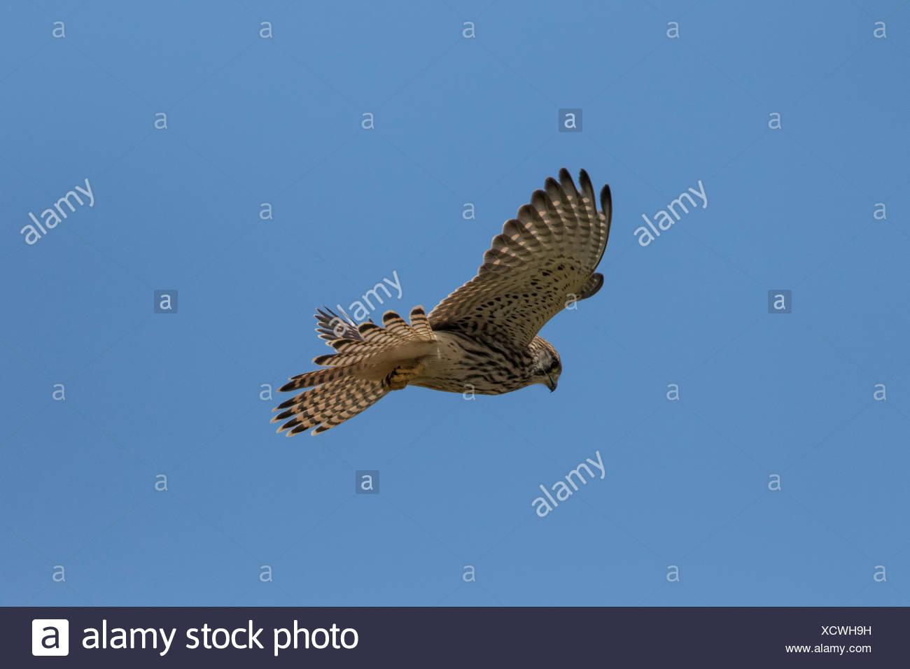 Juvenile female Kestrel Hovering. - Stock Image