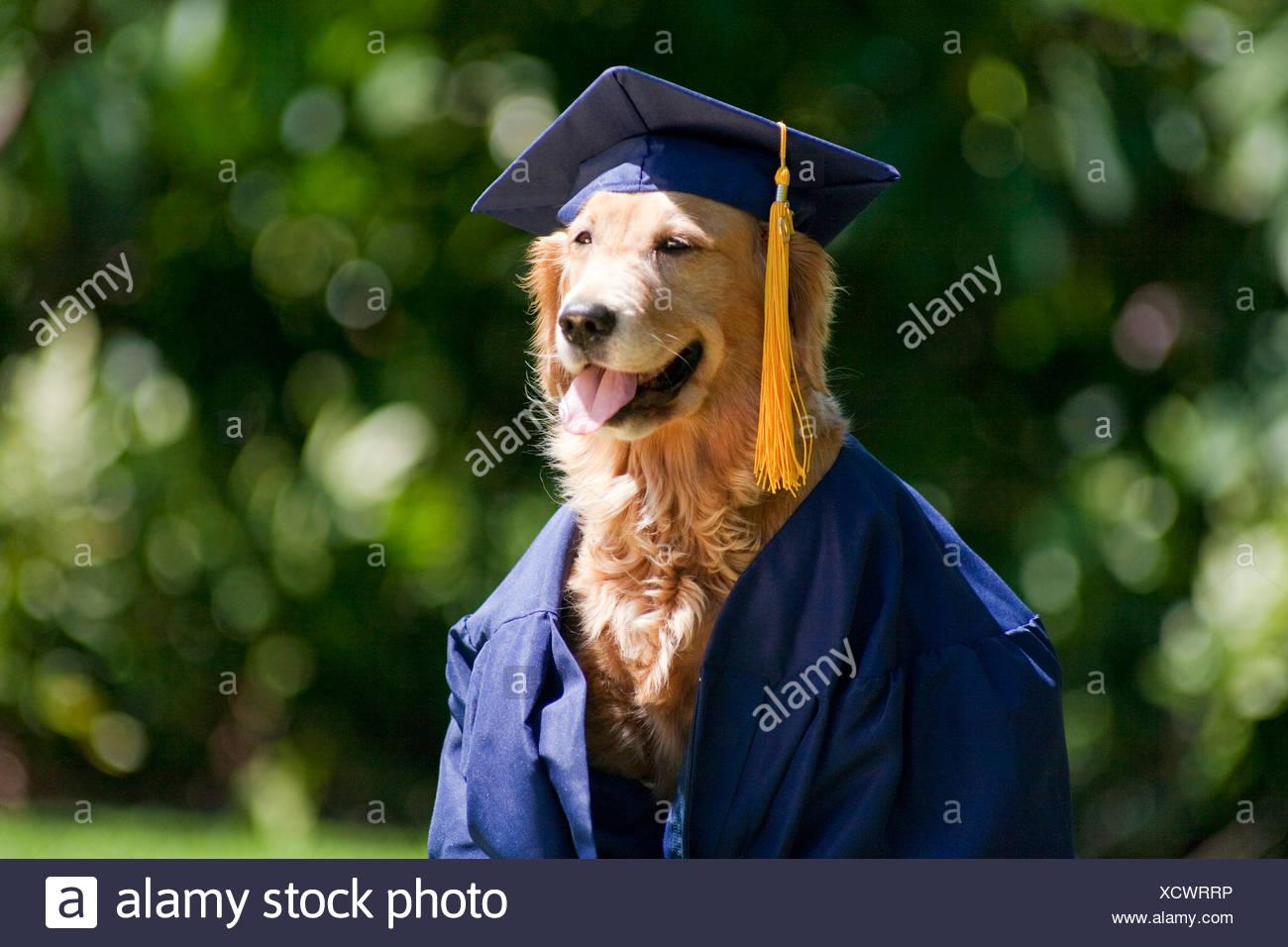 Golden Retriever Dog Graduation Cap Stock Photos & Golden Retriever ...