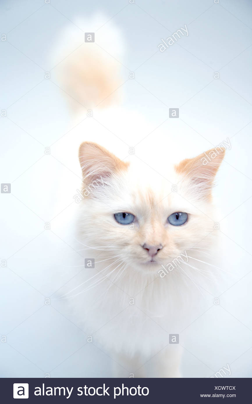 A Persian cat with blue eyes - Stock Image