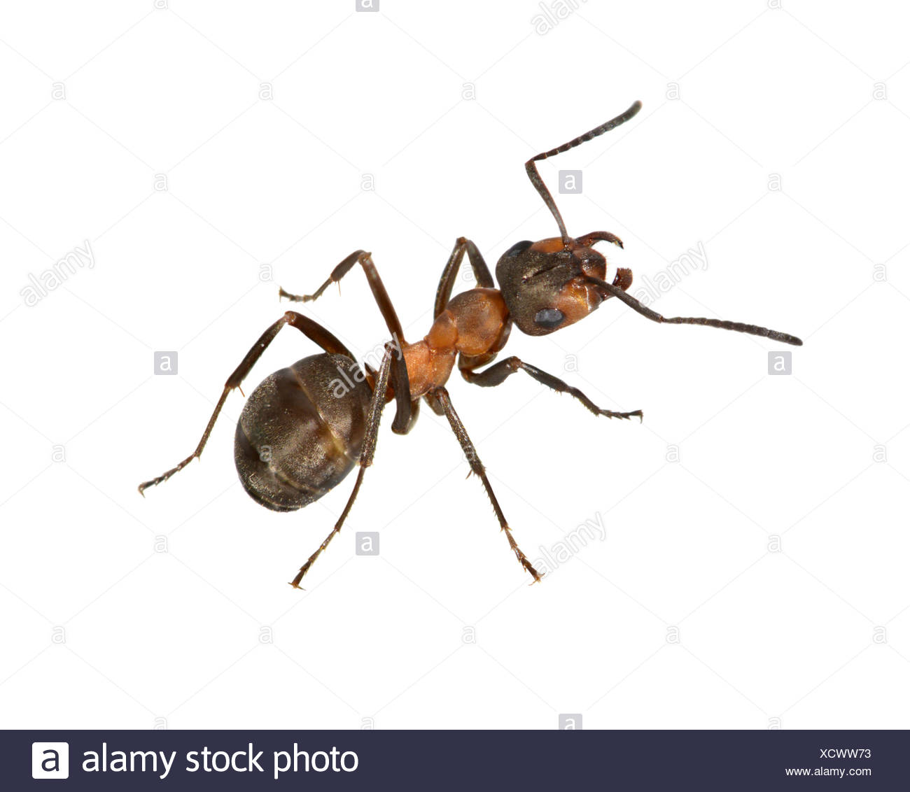 Wood Ant - Formica rufa - Stock Image