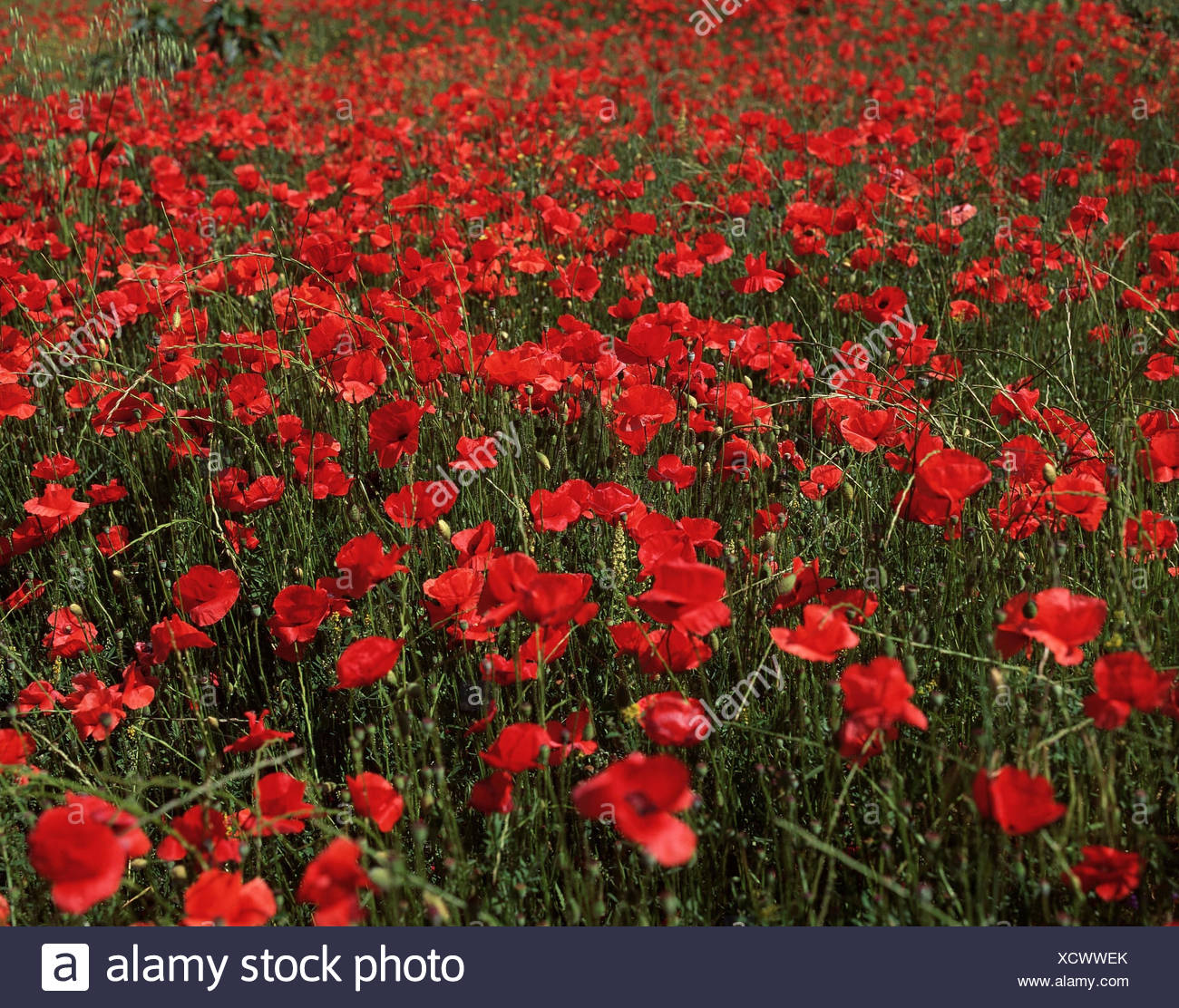 Meadow poppies papaver spec flower plant red poppy seed meadow poppies papaver spec flower plant red poppy seed flowers flower meadow blossom blossoms summers mightylinksfo