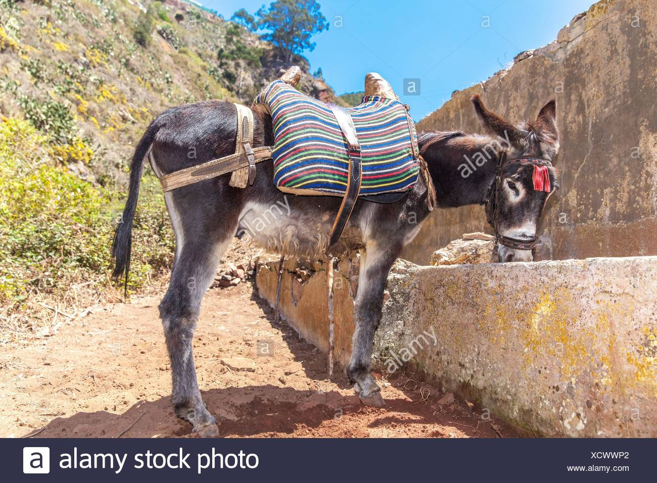 Donkey drinking water from a drinking trough in Roque Negro municipality. Santa Cruz de Tenerife - Stock Image