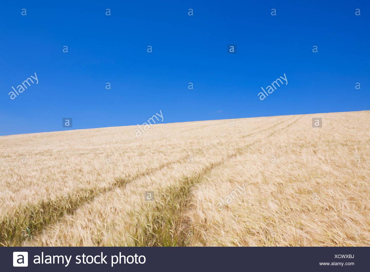 Tracks leading through wheat field, Dorset, England - Stock Image