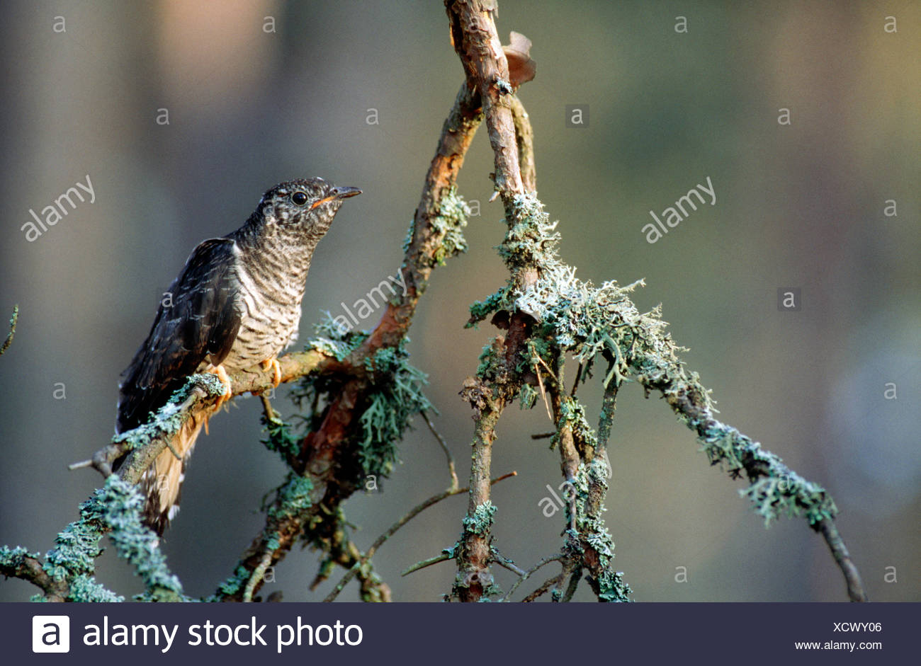 A young cuckoo, Finland. - Stock Image