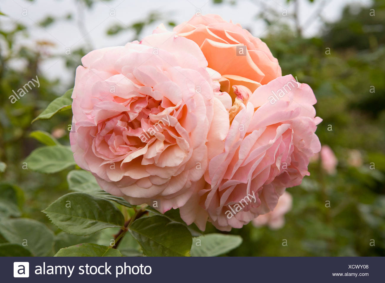 A pink rose - Stock Image