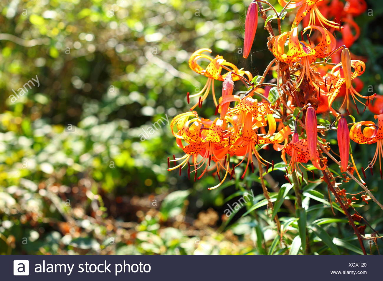 Orange Lily Flowers Lilies In Garden Outdoor Stock Photo