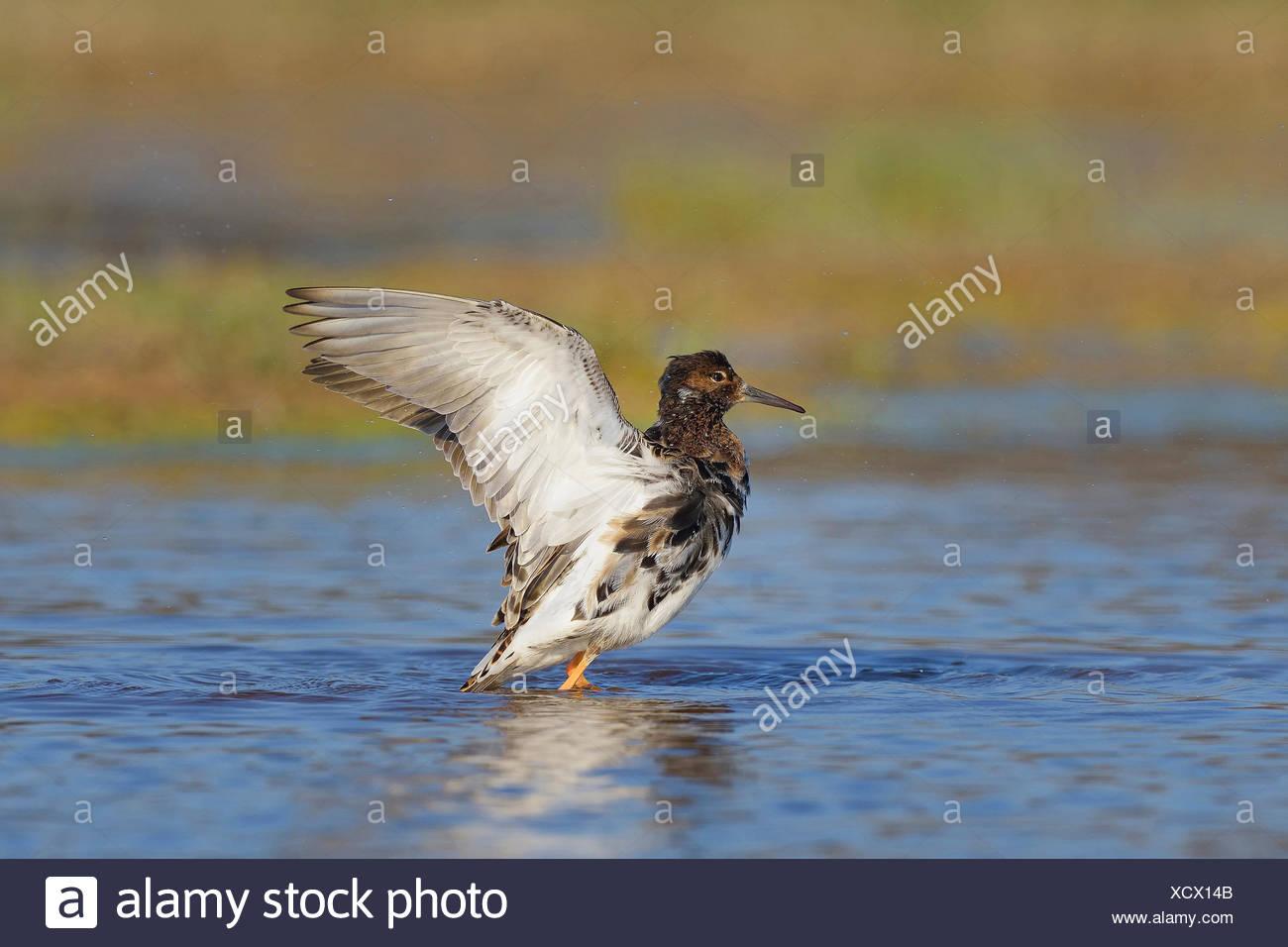 ruff (Philomachus pugnax), flapping wings, Austria, Burgenland, Neusiedler See National Park - Stock Image