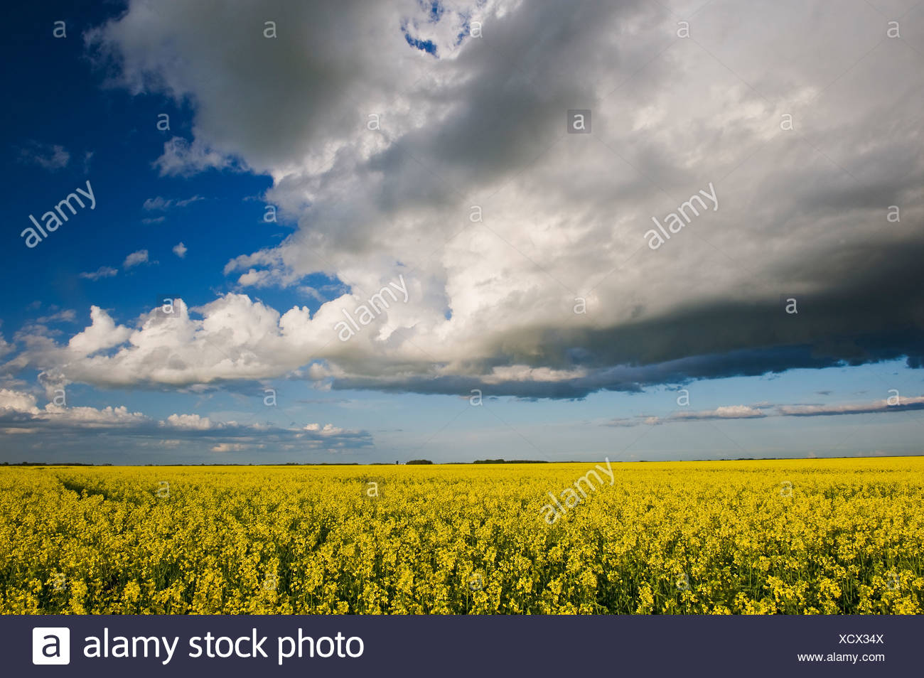 blooming canola field with cumulonimbus cloud in the sky, near Lorette, Manitoba, Canada - Stock Image