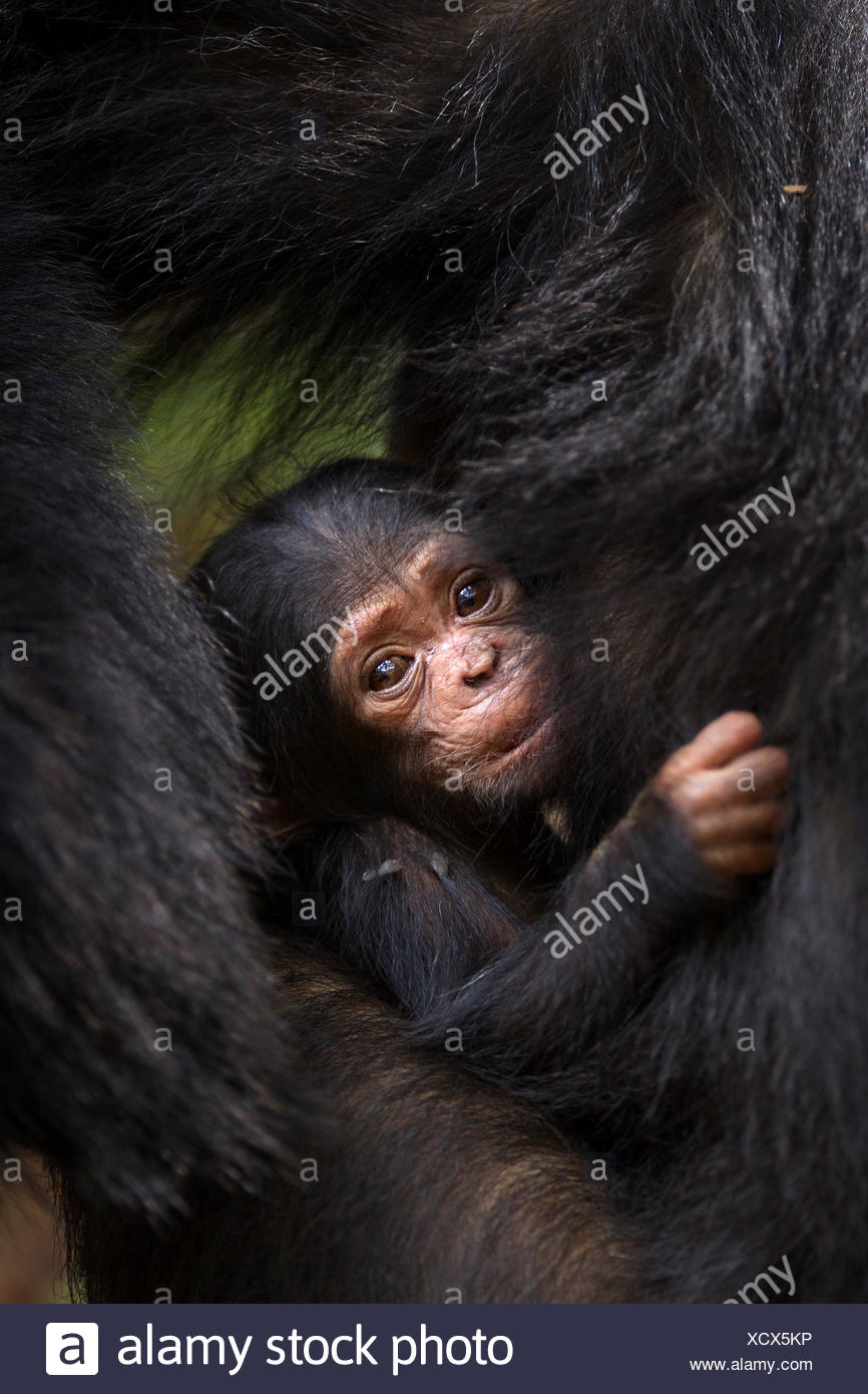Eastern chimpanzee (Pan troglodytes schweinfurtheii) young baby of adolescent female 'Golden' suckling. Gombe National Park, Tan - Stock Image