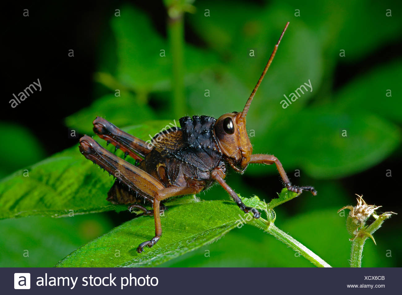 macro close-up macro admission close up view insect jungle grasshopper macro - Stock Image