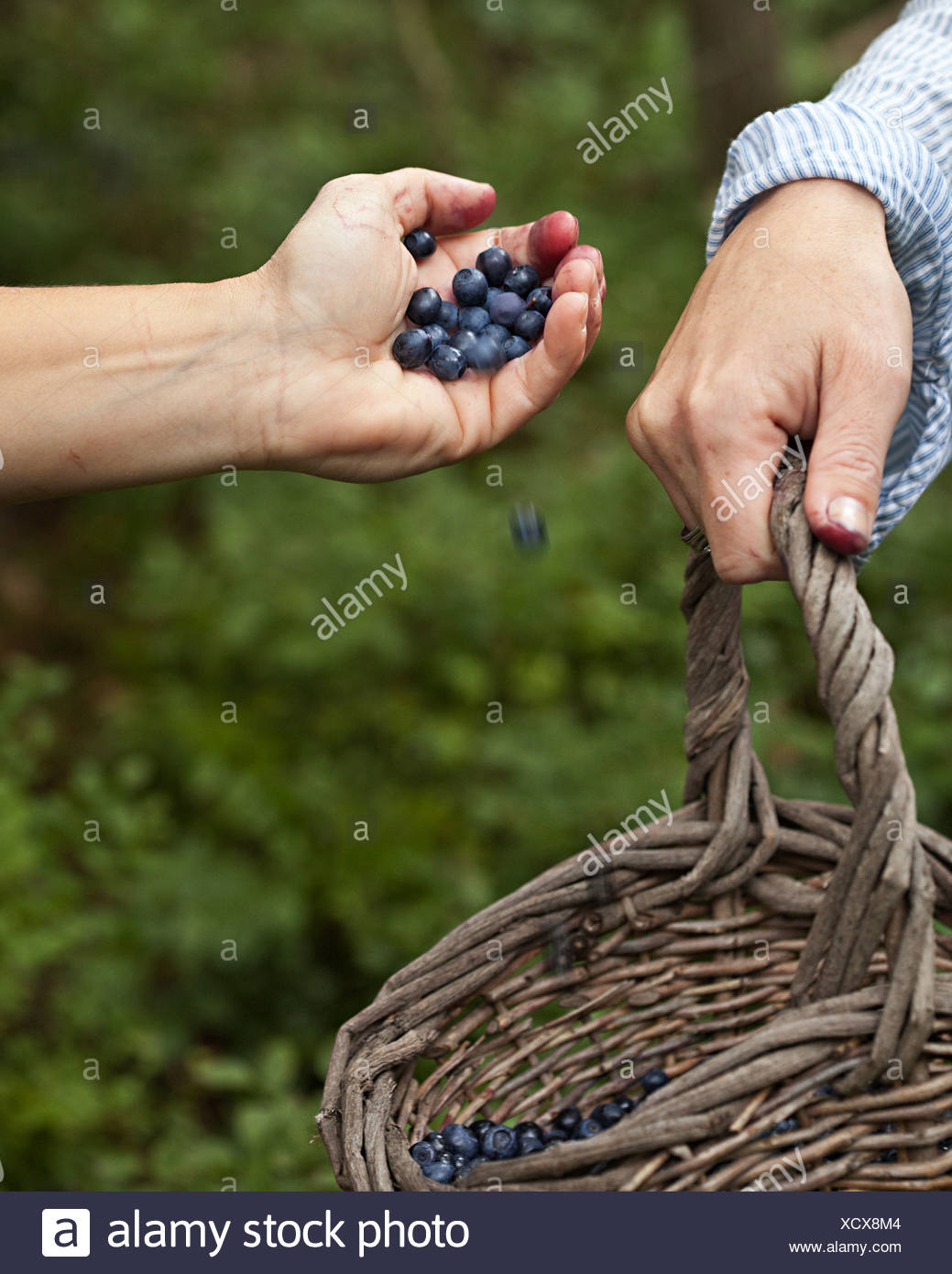 Human hand being poured blueberries into basket - Stock Image