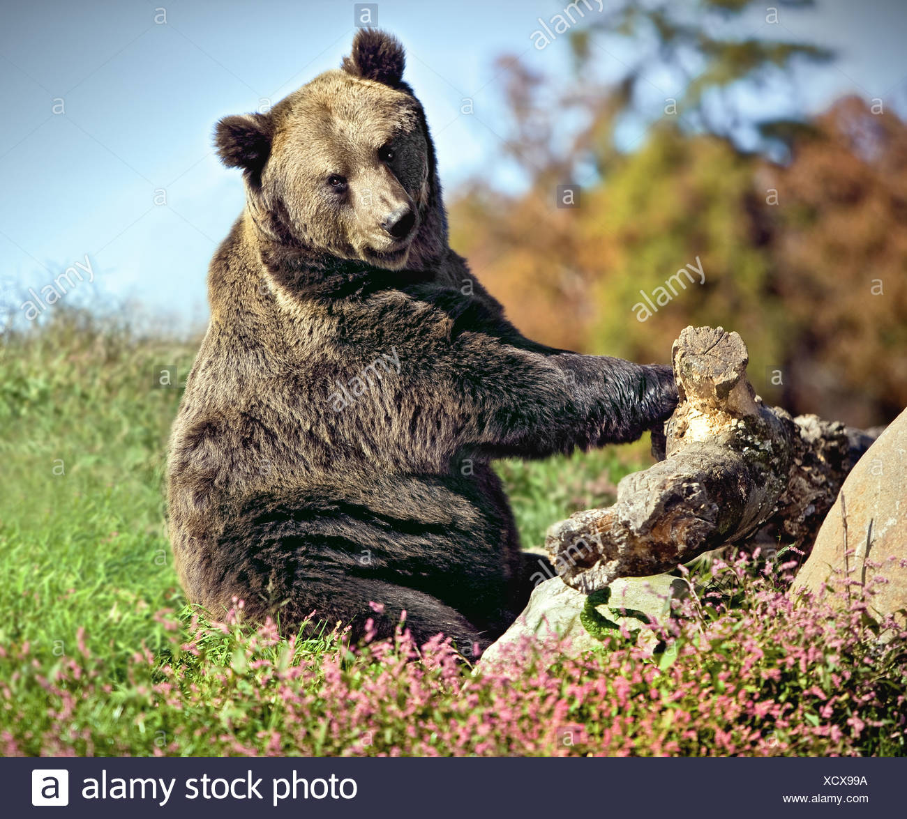 LARGE GRIZZLY BEAR SITTING ON GRASS WITH CUTE EXPRESSION - Stock Image