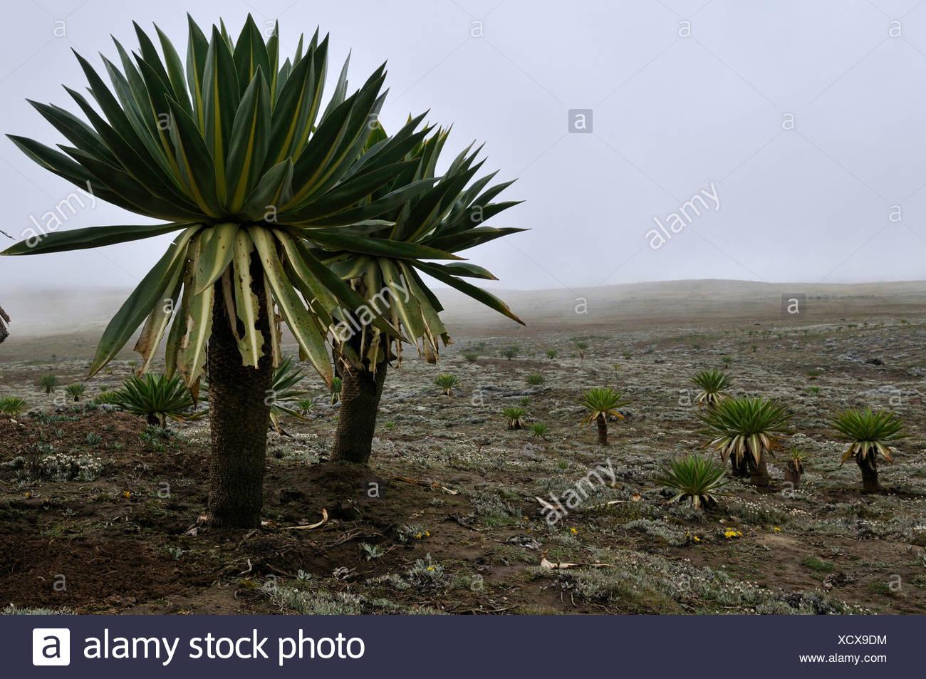 Giant Lobelia on the Sanetti Plateau, Bale Mountains National Park, Oromo, Ethiopia, Africa - Stock Image