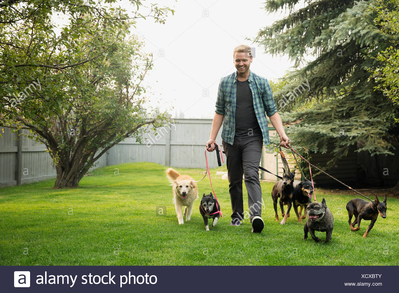 Man walking dogs on leashes in grass - Stock Image