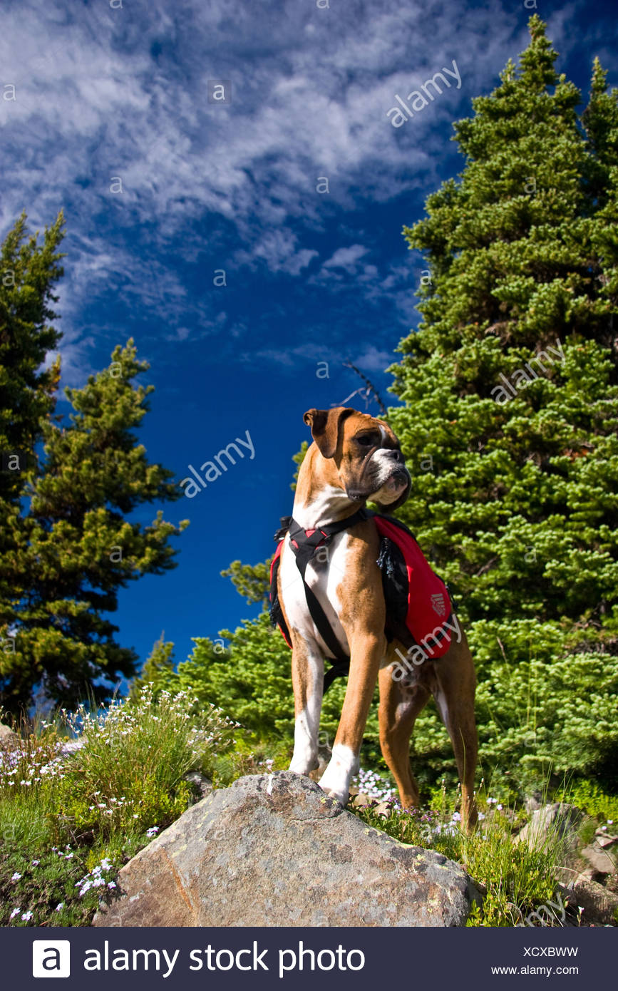Boxer Dog carrying a doggy backpack on an alpine trail, Manning Park, British Columbia, Canada - Stock Image