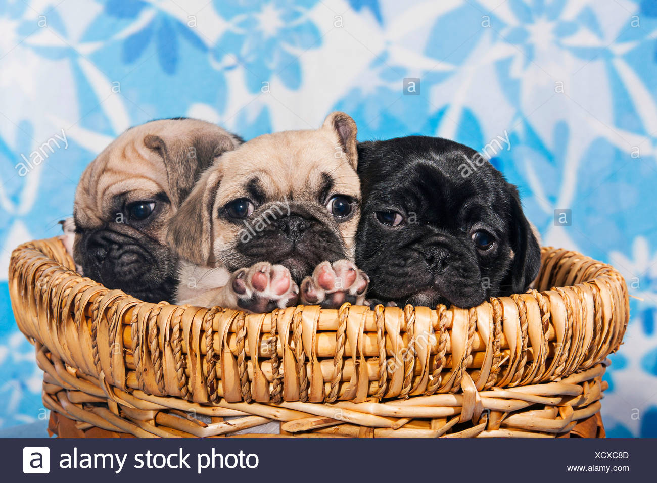 Three Pugs, puppies sitting in a basket - Stock Image