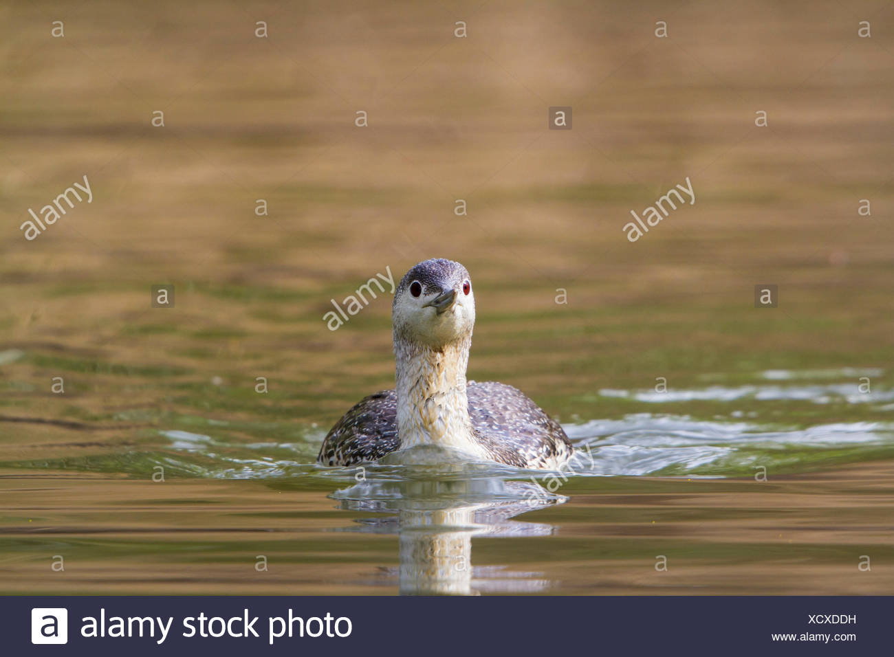 red-throated diver (Gavia stellata), swimming on a lake, Switzerland, Lake Constance - Stock Image