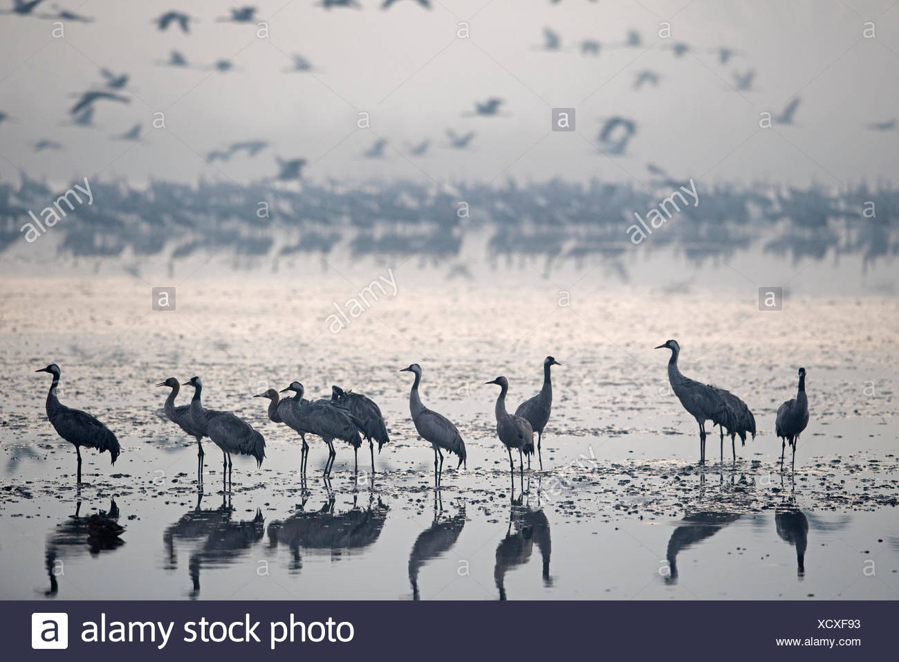 Common Cranes, at overnight roost at dawn, Grus grus, wintering at  the Hula Lake Park, known in Hebrew as Agamon HaHula in the Stock Photo