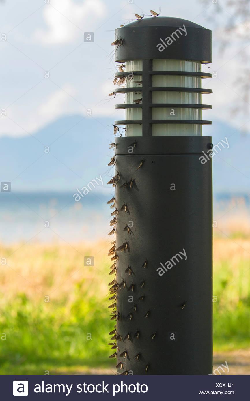 Gemeine Eintagsfliege, Braune Maifliege (Ephemera vulgata), in grosser Zahl an Wegbeleuchtung sitzend, Deutschland, Bayern, Chie - Stock Image