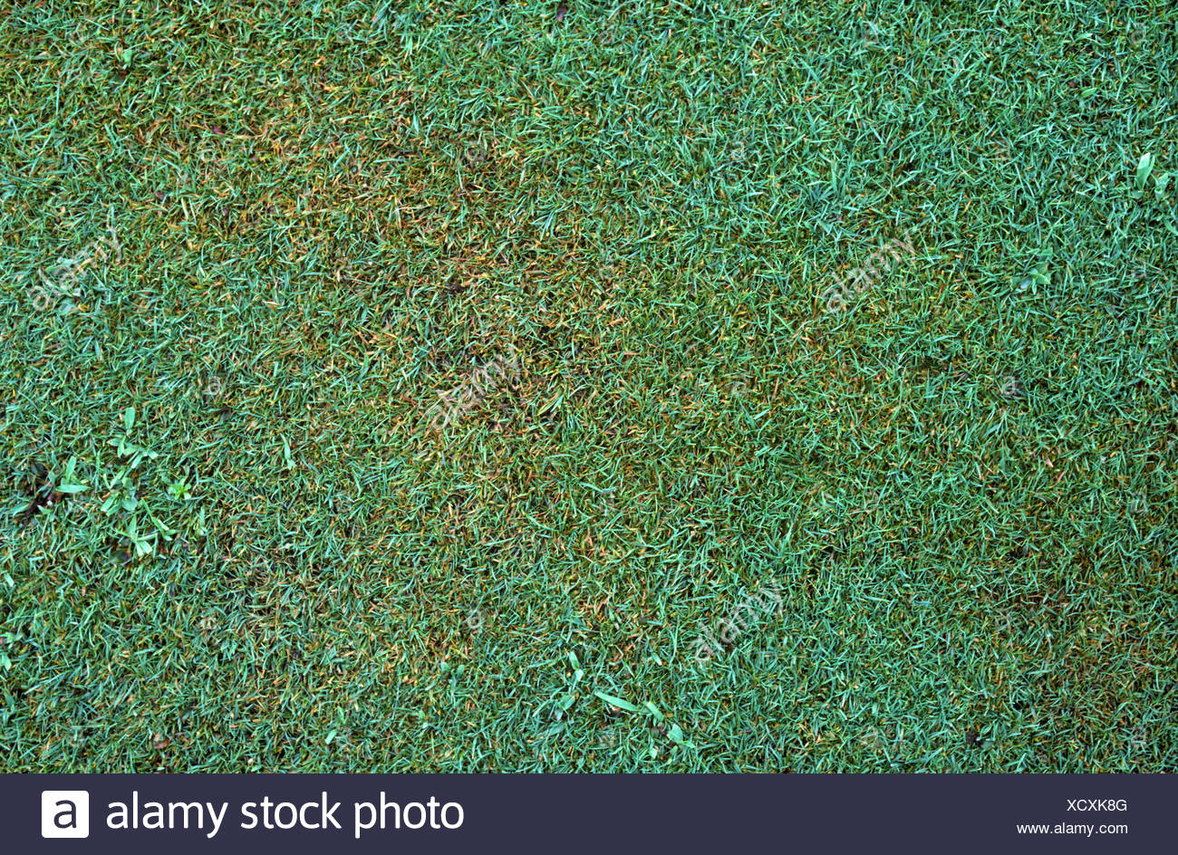 Brown patch Rhizoctonia solani on short golf green turf grass - Stock Image