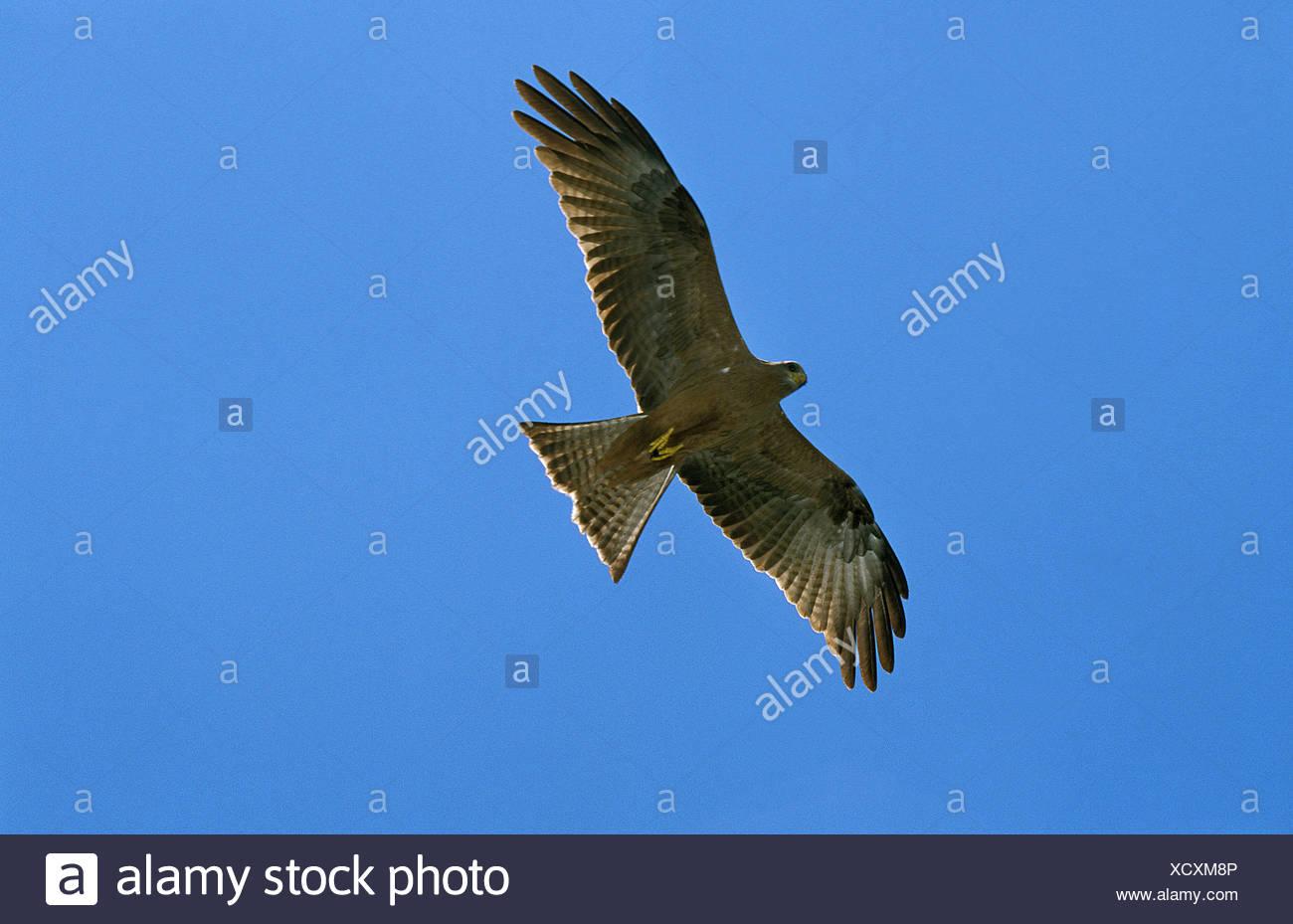 Black Kite, milvus migrans, Adult in flight against Blue Sky, Tanzanie - Stock Image