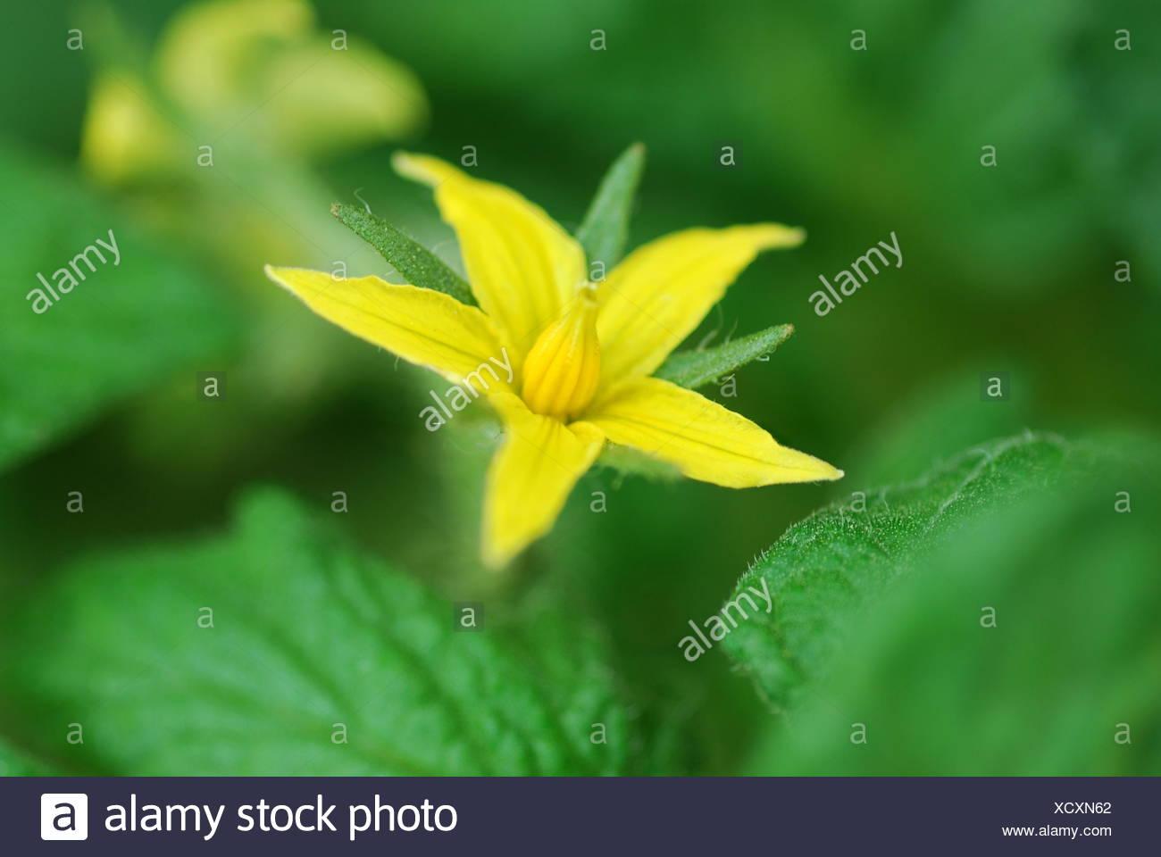 tomato blossom (solanum lycopersicum) - Stock Image